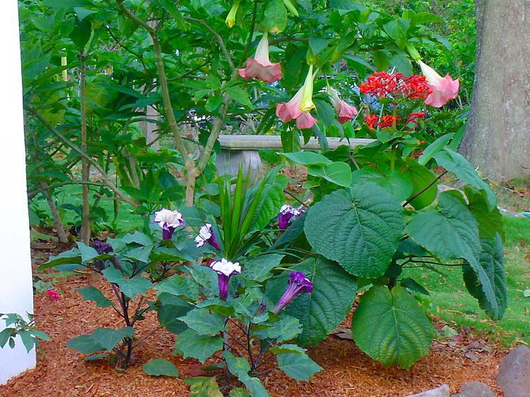 This is the angels trumpets page of our a to z garden guide how this is the angels trumpets page of our a to z garden guide how to care for them landscaping with them and cooking and healing with them mightylinksfo