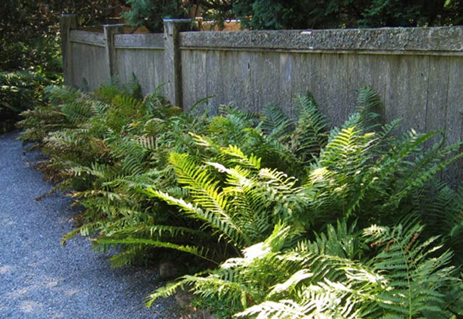 Landscaping With Ferns : This is the ferns page of my a to z garden guide how