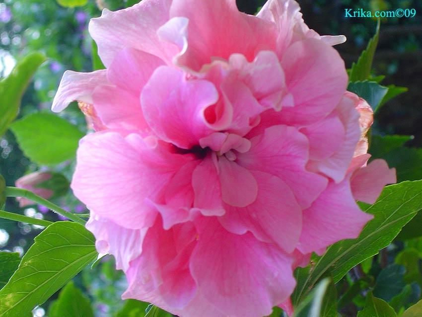 Hibiscus triple photo et image | rot, natur, blume Images ... |Triple Hibiscus