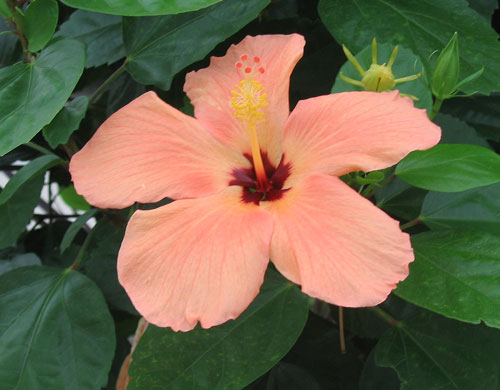 This Is The Hibiscus Page Of Our A To Z Garden Guide How To Care