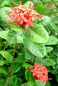 To See More Ixora Please  Click Here!