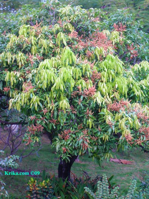Favorite Mango Trees In Texas   Shapeyourminds.com OC55