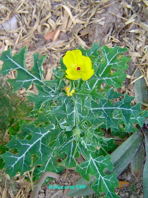 Thistle yellow flower gallery flower decoration ideas yellow thistle flower gallery flower decoration ideas thistle yellow flower choice image flower decoration ideas yellow mightylinksfo