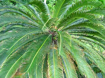 A Flowering Sego Palm