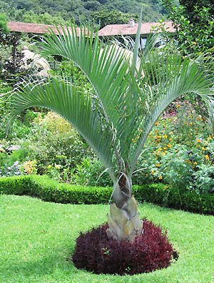 Growing To Be About 45 Feet Tall, This Peculiar Palm Has An Almost  Perfectly Triangular Trunk. Probably For That Quality, Its Ease Of Care And  Its Visual ...