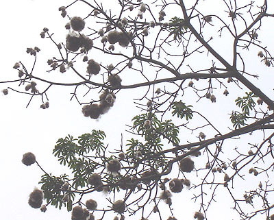 Silk Cotton Trees Silk-cotton-tree.jpg