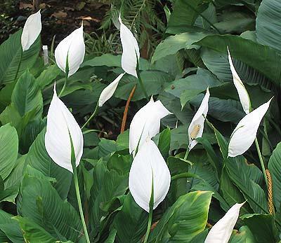 انواع النباتات المنزلية ورعايتها Spathiphyllum